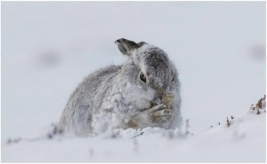 DPI_Mountain Hare by Graham Thurlow