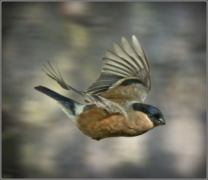 Malcolm Ness Female Bullfinch.jpg